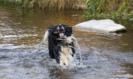 Gos al riu Ripoll / V.R.