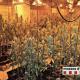 Plantació de marihuana desmantellada pels Mossos